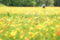 Coquelicot - Une fleur