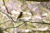 春の山 - うちのまわりの自然新聞