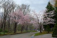 神楽岡公園の桜~5月の旭川 - My favorite ~Diary 3~