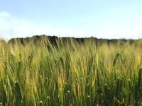 麦畑 - ありふれた日々の積みかさね