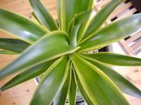 春です!今年はインテリアに植物を...AGAVE Americano,Cactus,Olive♪ - GLASS ONION'S BLOG