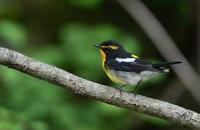 黄色い鳥さんキビタキマヒワ - 鳥さんと遊ぼう