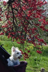 ♪ ダニエル 桜で始まりいちごで終わる~(*^。^*) ♪ - happy west DANIEL story