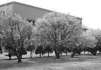 キャンパスのチシマザクラと白黒フィルムの現像とスキャン - 照片画廊