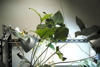 Anubias cf. hastifolia - PlantsCade -2nd effort