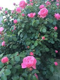 薔薇の季節 - ワタシ流 暮らし方   ~建築のこと日常のこと~
