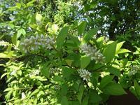 姫リョウブ - だんご虫の花