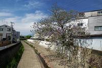 近所の桐の花 - デジタルな鍛冶屋の写真歩記