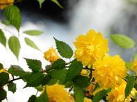 山吹の川(Japanese rosea along Ide no Tamagawa River) - ももさへづり*やまと編*cent chants d'une chouette (Yamato*Japon)