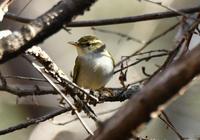 センダイムシクイ - 可愛い野鳥たち 2