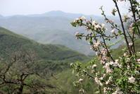 花盛りリンゴ 白牛 フィオンキ山 - イタリア写真草子 Fotoblog da Perugia