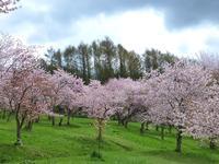 キトウシの桜 - 村田ピアノ教室のブログ ~北海道旭川市より~