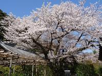山崎聖天の桜 - 彩の気まぐれ写真