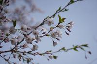 2018'  桜 ・ 梅(円山公園) - お茶にしませんか