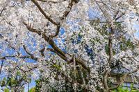 桜咲く京都2018 溪仙桜咲く(車折神社) - 花景色-K.W.C. PhotoBlog