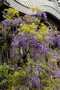 藤咲く西院春日神社 - 花景色-K.W.C. PhotoBlog
