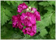 庭に咲く花 -2 - 野鳥の素顔 <野鳥と・・・他、日々の出来事>