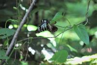 ■ アサギマダラ   18.5.5 - 舞岡公園の自然2