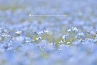 青いお嬢さん - お花びより