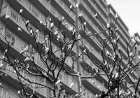 開花直前のハクモクレンと辞書付録の新稿作成 - 照片画廊