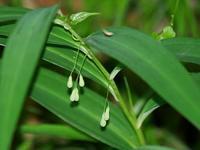 泉自然公園の山野草(補足) - 花と葉っぱ