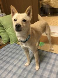 お休みの終わり - 琉球犬mix白トゥラーのピカ