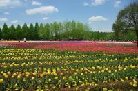 NO 145  世羅高原農場チューリップまつり(平成18年5月3日) - カメラをもってぶらぶら散歩中