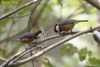 ヤマガラ - 奥武蔵の自然