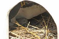バレンタインだよ!井の頭!!~ペンギンのヒナ&モルベビ - 続々・動物園ありマス。