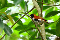 天然記念物固有種の「アカヒゲ」さん~Σ^)初見♪初撮り♪bykenken - ケンケン&ミントの鳥撮りLifeⅡ