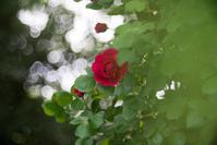 バラの季節 - 光の贈りもの
