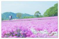 さくら色の夢。 - Yuruyuru Photograph