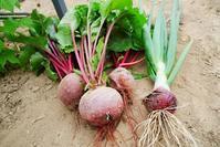 今日の収穫 - 畑であそぶ ~のんびり家庭菜園・畑しごと~