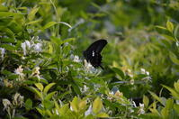 モンキアゲハ 5月6日 - 超蝶