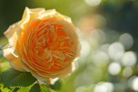 バラの香りに包まれて - ☆  Happy Photo Life ☆