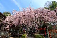 桜咲く京都2018 水火天満宮のしだれ桜(お昼編) - 花景色-K.W.C. PhotoBlog