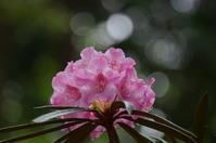 神戸市立森林植物園の石楠花 - たんぶーらんの戯言