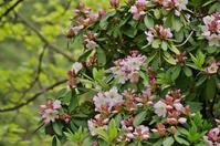 神戸市立森林植物園のダイセキナン(大石楠) - たんぶーらんの戯言