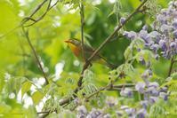 ソウシチョウとヒガラ - 近隣の野鳥を探して