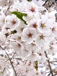 ご近所の桜* - haku&hana*