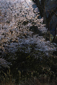 京都 桜2018嵐山 - 写真部
