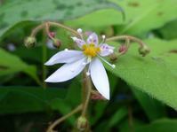 ユキノシタの花が咲き始めました - 花と葉っぱ