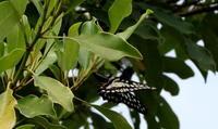2018ゴールデンウィーク最終日 - 紀州里山の蝶たち