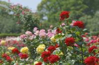 日比谷花壇大船フラワーセンターのバラ園満開でした♪ - エーデルワイスPhoto