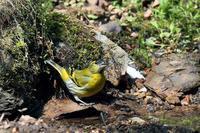 水を飲みに来たマヒワ - 比企丘陵の自然