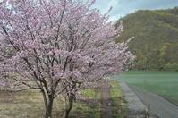 """2018年、小樽の桜は - ときどきの記 by 小樽の出版社""""ウィルダネス""""のブログ"""