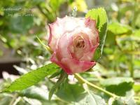 La delicadeza de rosas antiguas. - Gardener*s Diary