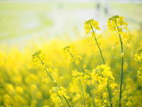 黄色い春 - 心の色~光生写真館~