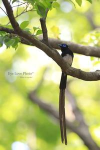 新緑のホイホイ♪~サンコウチョウ~ - Eye Love Photo*