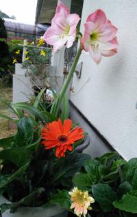 アマリリス、5年ぶり開花 - わたらせ